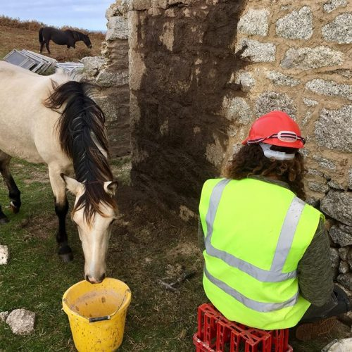 Lundy Pony on Lundy Island by Old Light Building Conservation
